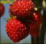 Земляника - ягода душистая